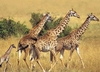 Ravensburger <br>200 Piece <br>Animal Planet <br>Giraffes