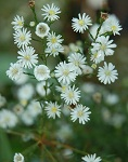 ASTER ERICOIDES 'MONTE CASINO'  Sold Out