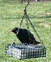 Starling Stumper Chain