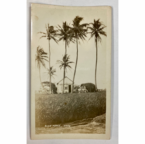 circa 1920 Photo of a Rice Farm on Oahu
