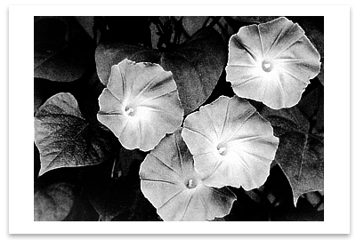 MORNING GLORIES, MA, 1958 - ANSEL ADAMS NOTECARD