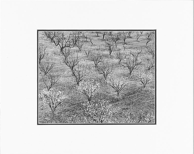 "ANSEL ADAMS - ORCHARD, PORTOLA VALLEY, CALIFORNIA  Large Ansel Adams Matted Reproduction (16"" x 20"")"