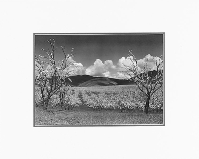 "ANSEL ADAMS - ORCHARD, SANTA CLARA VALLEY, CALIFORNIA  Large Ansel Adams Matted Reproduction (16"" x 20"")"
