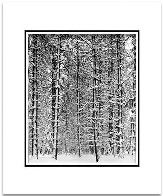 ANSEL ADAMS - PINE FOREST IN SNOW, YOSEMITE - SMALL MATTED REPRO