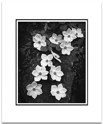 ANSEL ADAMS - DOGWOOD BLOSSOMS - SMALL MATTED REPRO