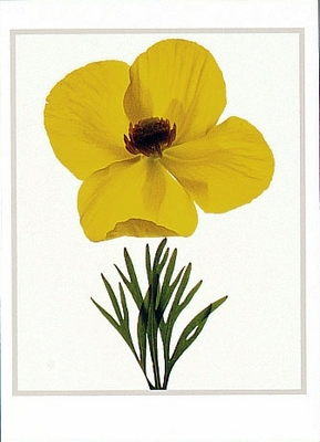MEXICAN TULIP POPPY
