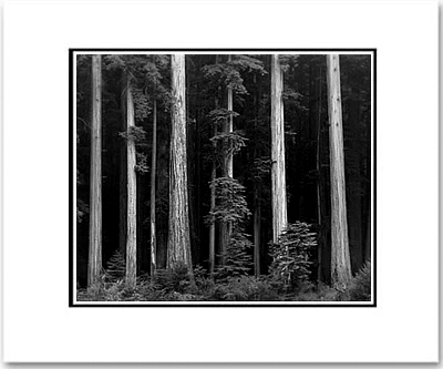 ANSEL ADAMS - REDWOODS, NORTHERN CALIFORNIA - SMALL MATTED REPRO