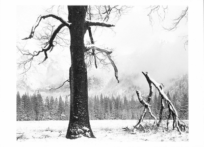 BLACK OAK, FALLEN BRANCHES, YOSEMITE VALLEY, CA