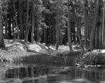 "ANSEL ADAMS - ANSEL ADAMS - LODGEPOLE PINES, LYELL FORK OF MERCED RIVER, YOSEMITE NAT'L PARK  Large Ansel Adams Matted Reproduction (16"" x 20"")"
