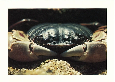 ROCK CRAB - LARGE POSTCARD