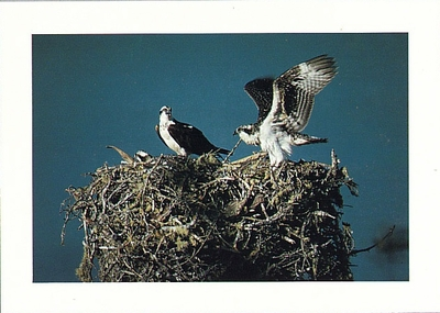 OSPREY FAMILY, POINT REYES NATIONAL SEASHORE - LARGE POSTCARD