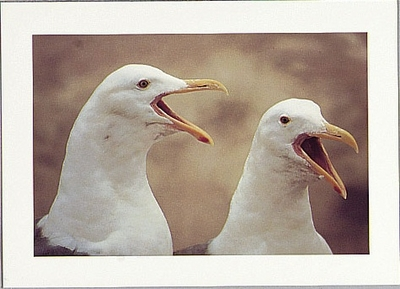 WESTERN GULLS, FARALLON ISLANDS, CA - LARGE POSTCARD