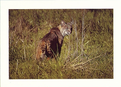 BOBCAT, POINT REYES NATIONAL SEASHORE - LARGE POSTCARD (OUT OF STOCK)