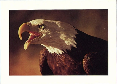 BALD EAGLE, BOLINAS LAGOON, TOMALES BAY AND POINT REYES NATIONAL SEASHORE - LARGE POSTCARD
