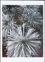 FROSTED PONDEROSA PINE NEEDLES - HOLIDAY CARDS