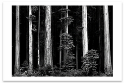 REDWOODS, BULL CREEK FLAT, NORTHERN CALIFORNIA, c 1960