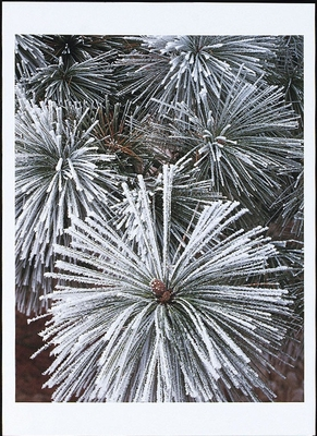 ALAN MAJCHROWICZ - FROSTED PONDEROSA PINE NEEDLES - HOLIDAY CARD