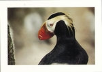 TUFTED PUFFIN, FARALLON ISLANDS - LARGE POSTCARD