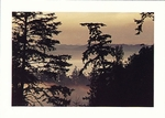 FOREST OF DOUGLAS FIR, INVERNESS RIDGE, POINT REYES NATIONAL SEASHORE - LARGE POSTCARD