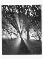 TREES, MIST, SUNLIGHT, BIG SUR, CA, 1991