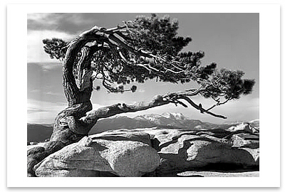 ANSEL ADAMS - JEFFREY PINE ON SENTINEL DOME, YOSEMITE  NATIONAL PARK, CA, c 1940 -  SMALL POSTCARD
