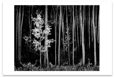 ANSEL ADAMS - ASPENS, NORTHERN NEW MEXICO, c 1958 -  SMALL POSTCARD