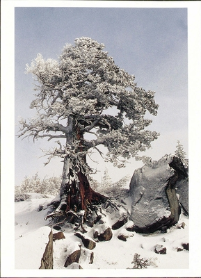 RYME ICE COVERED TREE, SIERRA NEVADA, CA - HOLIDAY CARDS