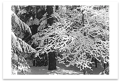 LACY BRANCHES IN SNOW, YOSEMITE NATIONAL PARK, CA, 1948 - ANSEL ADAMS NOTECARD