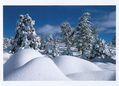 JEFFREY PINES AFTER SNOWSTORM, EASTERN SIERRA, CA - HOLIDAY CARDS