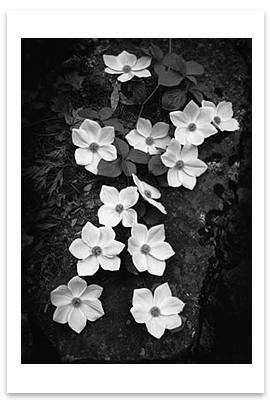 ANSEL ADAMS -DOGWOOD BLOSSOMS, YOSEMITE NATIONAL PARK, CA, c 1943 - SMALL POSTCARD