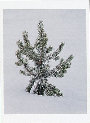 JOSEPH KAYNE - FROST COVERED LODGEPOLE PINE, YELLOWSTONE NATIONAL PARK, WY, 1995 - HOLIDAY CARD