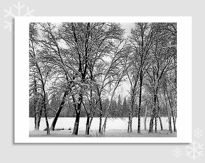 YOUNG OAKS IN SNOW - HOLIDAY CARDS