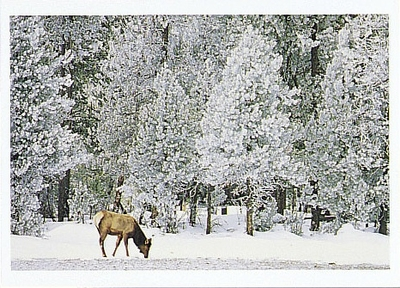 ELK FORAGING IN SUB-ZERO TEMPERATURES, YELLOWSTONE NATIONAL PARK, WY - HOLIDAY CARDS