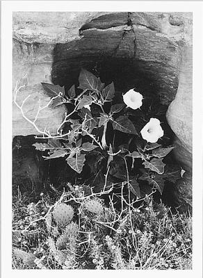 DATURA FLOWER, CANYON DE CHELLY NATIONAL MONUMENT, AZ, 1947 - ANSEL ADAMS NOTECARD