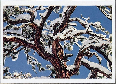 STEPHEN INGRAM - CANOPY OF JEFFREY PINE WITH NEW SNOW, EASTERN SIERRA NEVADA, CA - HOLIDAY CARD