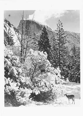 HALF DOME, TREES, DEER, WINTER, YOSEMITE NATIONAL PARK, CA, 1948 - ANSEL ADAMS NOTECARD   (OUT OF STOCK)