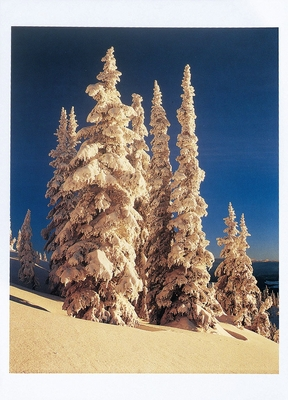 ALAN MAJCHROWICZ - SNOW CLOAKED TREES AT DAWN, CARIBOO MOUNTAINS, BRITISH COLUMBIA - HOLIDAY CARD