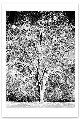 OAK TREE IN SNOW, YOSEMITE NATIONAL PARK, CA, c 1933 ANSEL ADAMS BLANK NOTECARD