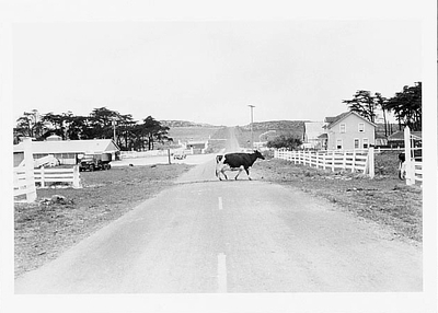 COW CROSSING - SPALETTA RANCH, POINT REYES NATIONAL SEASHORE, CA, 1975