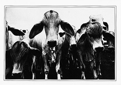 THAT'S A BUNCH OF BULL! - SMALL POSTCARD