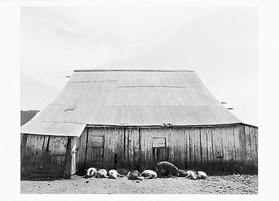 ART ROGERS - PIGS IN SHADE, NICASIO, CA, 1980 - NOTECARD