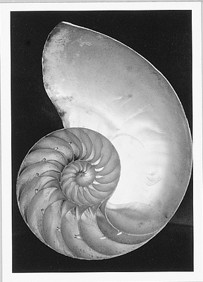 EDWARD WESTON - SHELL, 1927 - NOTECARD