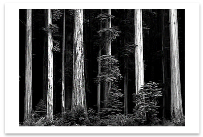 REDWOODS, BULL CREEK FLAT, NORTHERN CALIFORNIA, c 1960 - ANSEL ADAMS LARGE POSTCARD