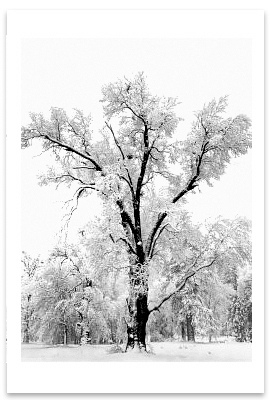 OAK TREE, SNOWSTORM, YOSEMITE NATIONAL PARK, CA, c 1948 (OUT OF STOCK)