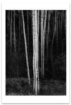 ASPENS, NORTHERN NEW MEXICO, c 1958 -ANSEL ADAMS LARGE POSTCARD