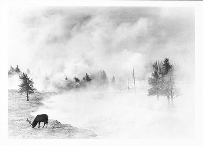 PHILIP V AUGUSTIN - ELK, FIREHOLE RIVER, YELLOWSTONE NATIONAL PARK - NOTECARD