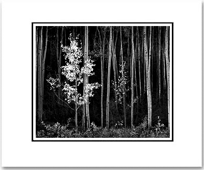 ANSEL ADAMS -ASPENS, NORTHERN NEW MEXICO - SMALL MATTED REPRO