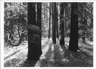 FOREST FLOOR OF THE YOSEMITE VALLEY, c 1950 - ANSEL ADAMS LARGE POSTCARD
