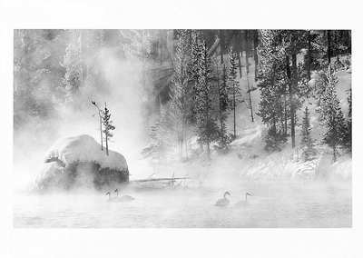 TRUMPETER SWANS, FIREHOLE RIVER, YELLOWSTONE NATIONAL PARK