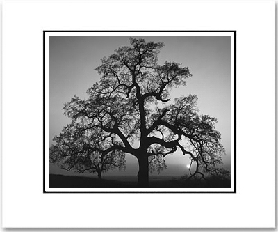 ANSEL ADAMS - OAK TREE, SUNSET CITY, CA - SMALL MATTED REPRO